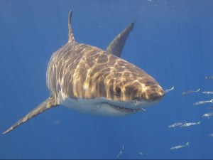 Tritech's Sonar Technology to be used by  Shark Mitigation Systems to detect sharks in U.S.